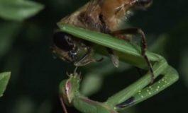 Arıyı Tuzağa Düşüren Peygamber Devesi (Video)