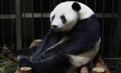 Daha Fazla İlgi ve Yiyecek İçin Hamileymiş Gibi Davranan Panda