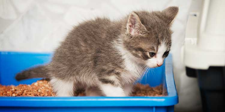 Kediler Dışkılarını Neden Gömüyor?