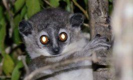 Tuvalette Mesajlaşan Lemurlar