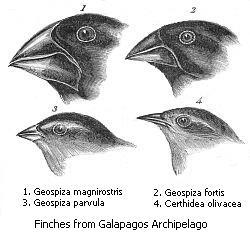 Galapagos ispinozu