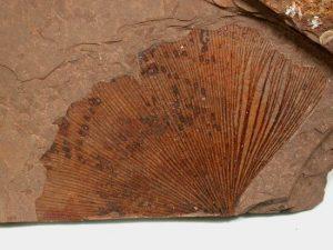 Bu Ginkgo fosil örneği yaklaşık 270 milyon yıl öncesine ait.