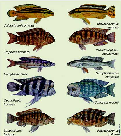 Afrika ciklet balığı