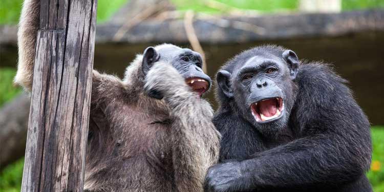 Şempanzeler Neden Medeniyet Kuramadı?