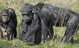 Primat Merakı Hastalıkların Sebebi