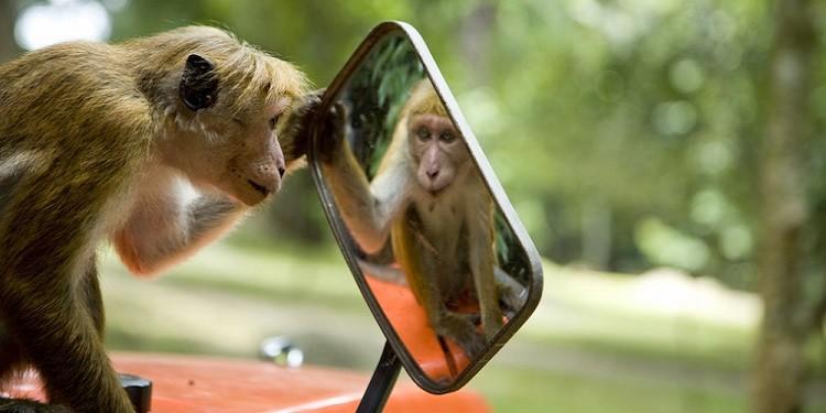 Maymunlar, Aynaları İnsanlar Gibi Kullanabilirler