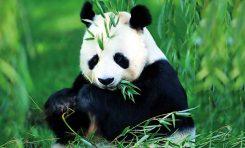 Ataları Etçilken, Büyük Pandaları Otçul Yapan Nedir?