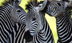 """Çözülemeyen """"Gizem"""": Zebra Şeritleri"""
