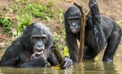 Diğer Primatlardan Farkımız Beynimizdeki Asimetrik Oluk