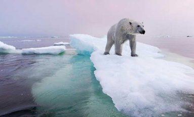 Küresel Isınma Mağduru Kutup Ayıları Göç Ediyor!