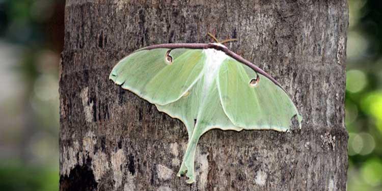 Akustik sinyallerle avcısından kurtulabilen keşfedilmiş ilk canlı, pervane böceği!