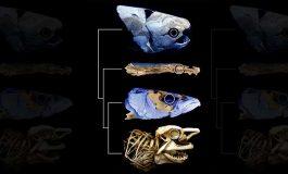 Antik Fosiller Balık Soyağacını Yeniden Yazabilir