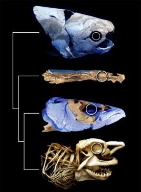 """Erken devoniyen dönemine (yaklaşık 415 milyon yıl öncesi) ait balık Janusiscus, kemikli balıklarla köpekbalığı gibi kıkırdaklı balıkların ortak atası olan canlının tamamlanmış iskelet yapısına (mavi ile gösterilen bölgeler) dair önemli kanıtlar sunuyor. © Sam Giles, Matt Friedman ve Martin Brazeau"""" width=""""316"""" height=""""430"""" /> Erken devoniyen dönemine (yaklaşık 415 milyon yıl öncesi) ait balık Janusiscus, kemikli balıklarla köpekbalığı gibi kıkırdaklı balıkların ortak atası olan canlının tamamlanmış iskelet yapısına (mavi ile gösterilen bölgeler) dair önemli kanıtlar sunuyor. © Sam Giles, Matt Friedman ve Martin Brazeau"""