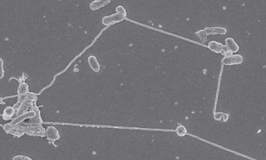 Bakteriler Nano-Borular Kurarak Birbirlerini Besleyebiliyorlar