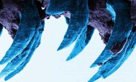 Deniz Salyangozunun Dişleri Örümcek Ağının Tahtını Kaptı!