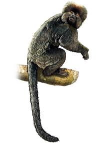 guney-amerika-maymunlari-afrikadan-geldi-bilimfilicom1