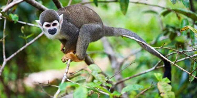 Güney Amerika Maymunları Afrika'dan Geldi