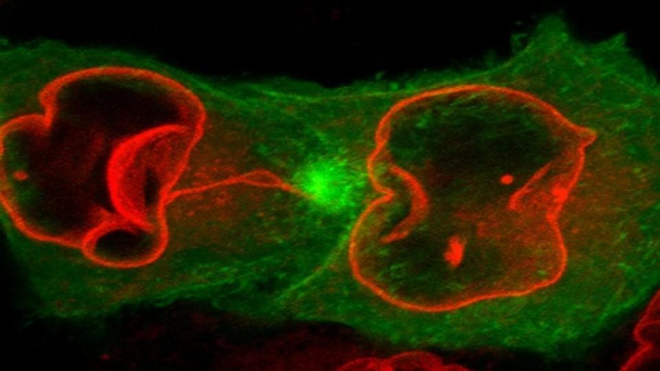 Hücre Bölünürken Proteinler Kolektif Çalışıyorlar
