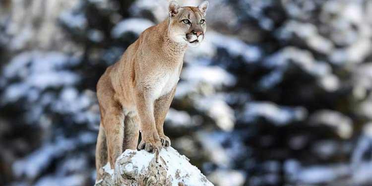 İnsanlar Yakındayken Vahşileşen Dişi Pumalar