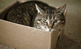 Kediler Kutuların İçine Girmeyi Neden Çok Seviyor?