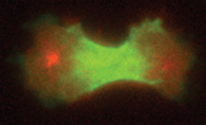 preteinler hücre bölünmesi-bilimfilicom