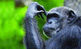 Şempanzeler de Dil Öğrenebiliyor!