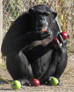 sempanzeler-de-dil-ogrenebiliyor-bilimfilicom1