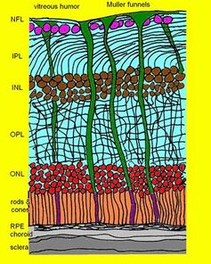 Retina boyunca kesit ve retina katmanları Görsel: Labin/Safuri/Perlman/Ribak/Nature