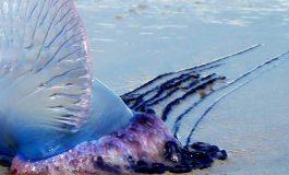 Uzak Durulması Gereken 7 Denizanası