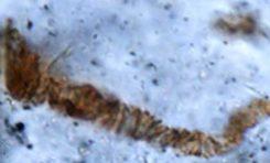 Dünya'nın En Eski Fosili Unvanı El Değiştirdi!