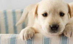 """Köpekler """"Ebeveyn-Çocuk Bağ Mekanizmasını"""" Kullanarak Sevgimizi Kazanıyorlar"""