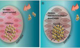 Ölü Besleyici Hücreler Kök Hücrelerin Büyümesine Destek Oluyorlar