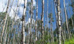Titrek Kavak ağaçlarının ölümü artan sıcaklıklara bağlandı