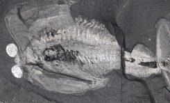 500 milyon yıllık fosil beyni, kafa evrimi ile ilgili ipuçları taşıyor