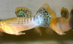 Trafik Gürültüsü Balıkların Çiftleşmesine Engel Oluyor