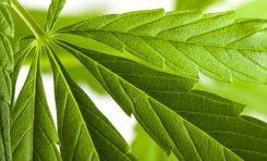 Alkol ve Kenevir Birlikte Kullanıldığında Kandaki THC Oranı Artıyor