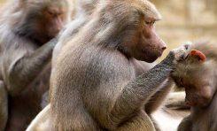 Babunlar Sosyal İlişkilerini Tıpkı İnsanlar Gibi Düzenliyorlar