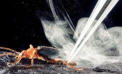 Böceklerin kimyasal sprey patlaması ve gizemi
