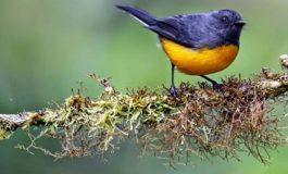 Uzun göçler dişi bülbüllerde daha mat tüy oluşumuna sebep oldu