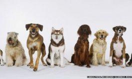 Köpeklerin Evcilleşmesinin Kökeni