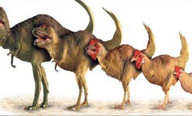 Tavuktan dinozora doğru ters evrim gerçekleştirildi