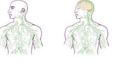 Beyin ve Bağışıklık Sistemi Arasında Yeni Bağlantılar Bulundu !