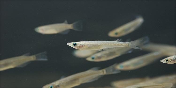 Bilimciler Sağlıklı Sperm Üreten Dişi Balık Üretti