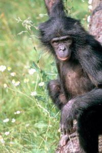 bonob-genom-dizilimi-tamamlandi-bilimfilicom