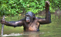 Yakın Akrabamız Bonobonun Genom Dizilimi Tamamlandı