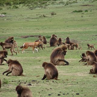 etiyopya-kurdu-gelada-maymunu-bilimfilicom