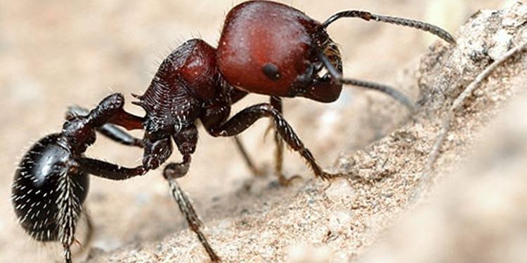 Gümüş Tüyler, Çöl Karıncalarını Serin Tutuyor
