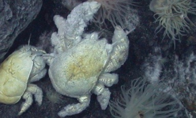 Antarktika yakınlarında hidrotermal ağızdan ilk yeti yengeç türü bulundu