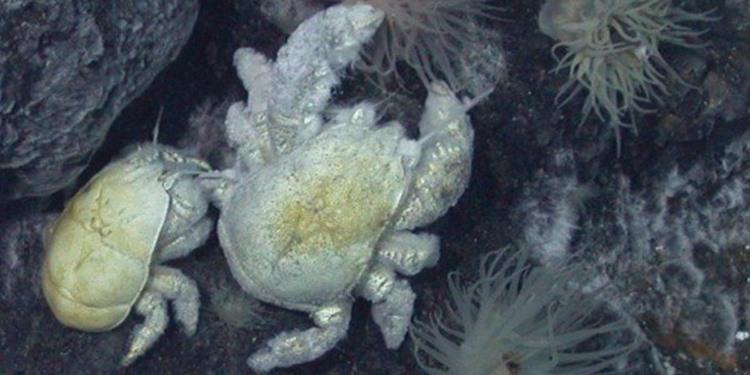 Antarktika yakınlarındaki hidrotermal ağızdan ilk yeti yengeç türü bulundu