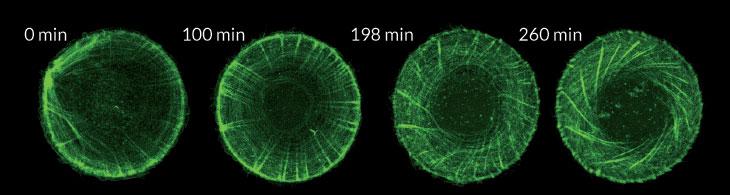 kivrilan-protein-zincirleri-hucreleri-duzenliyor2-bilimfilicom